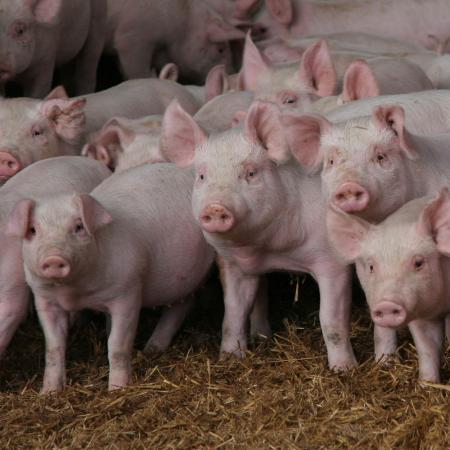 Выявлен генетический материал вируса африканской чумы свиней.