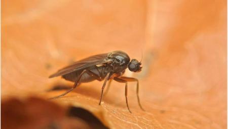 В России появился новый вредитель – муха-горбатка