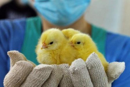 Внимание! Птичий грипп!
