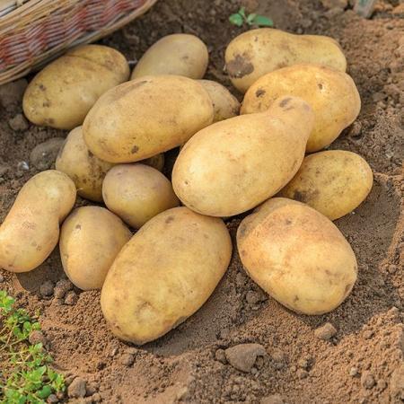 Получатель субсидии ООО «СК «Родина» (выращивание продовольственного картофеля)