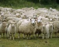 Мероприятия по предупреждению заболеваний оспой овец и коз