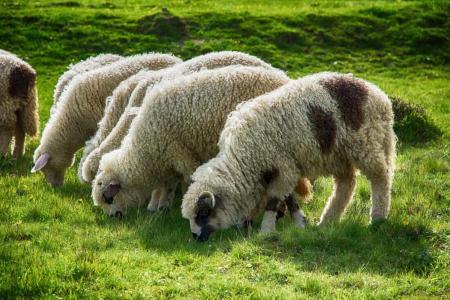 Постановление об отмене ограничительных мероприятий по оспе овец на территории Московской области