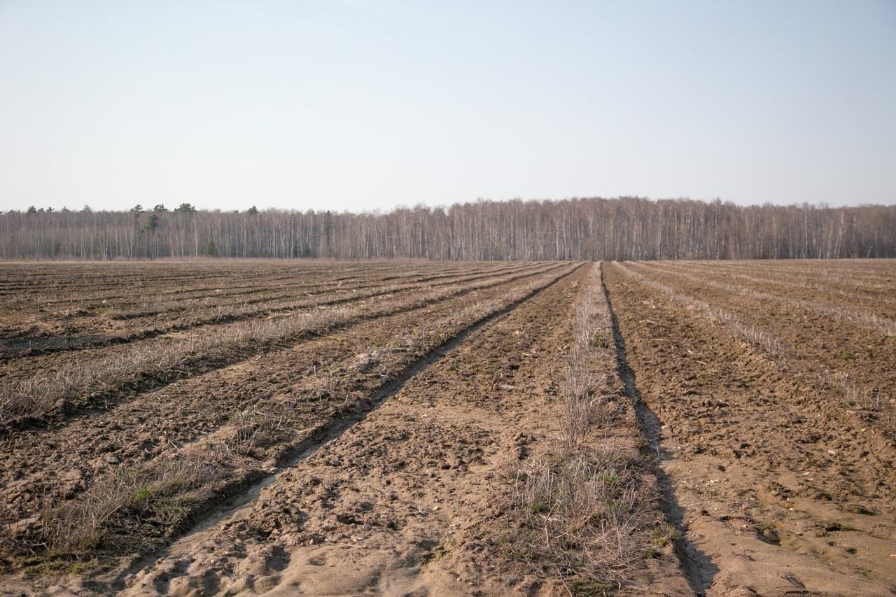 Где выращивают коломенскую спаржу